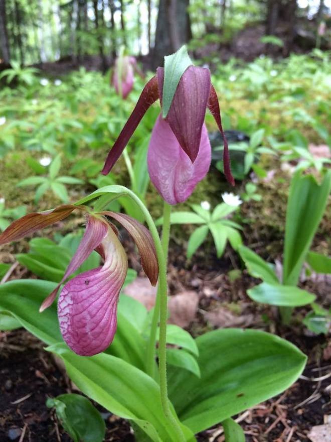 Lady slipper photo by Peggy Theriault